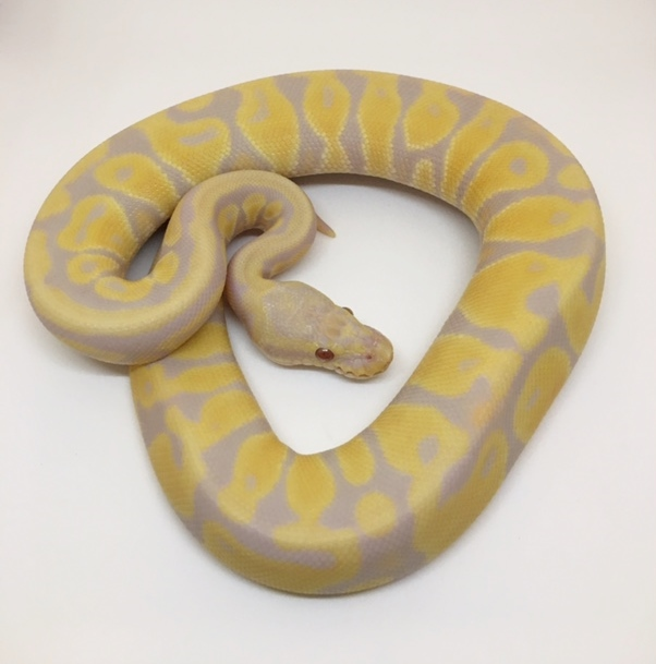 Pastel Candy Female
