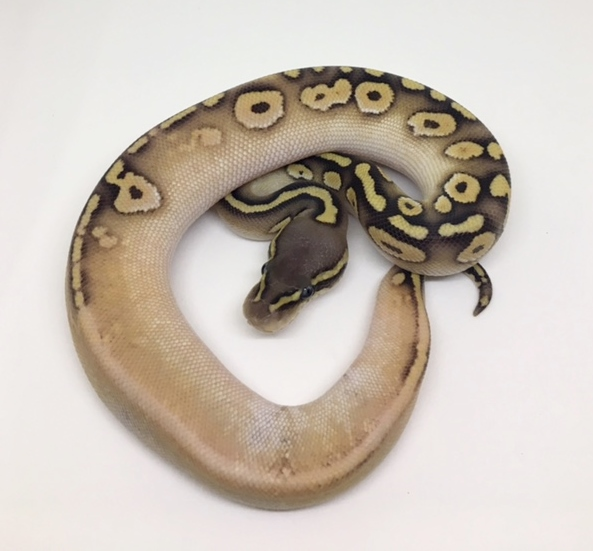 Pastave Calico Het Monsoon Female