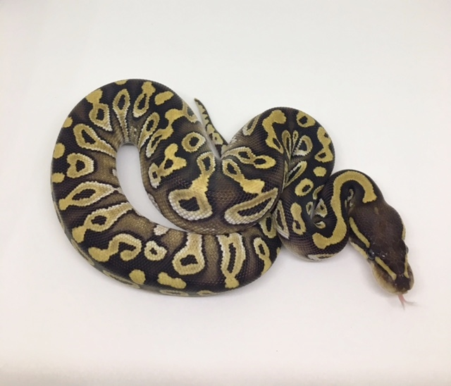 Phantom Het Monsoon Female