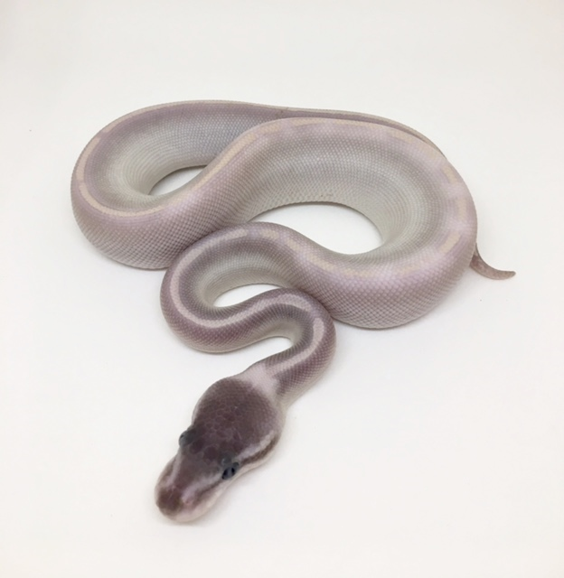 Purple Passion Het Monsoon Female