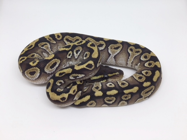 Mojave Het. Monsoon Male