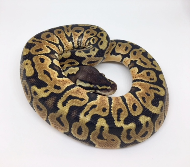 Pastel Het. Monsoon Female