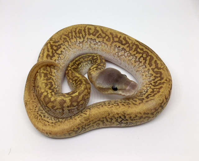Pastel (possible Pastave) Monsoon Female