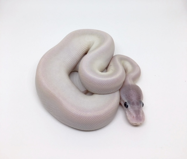 Super Mojave Het Monsoon Female