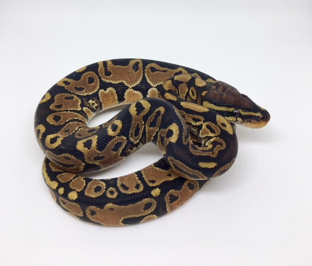 Het. Monsoon Female