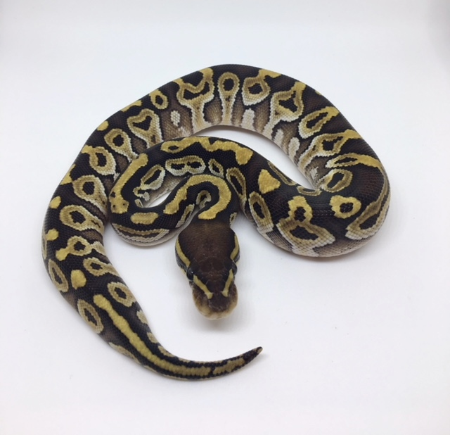 Mojave Het. Monsoon Female