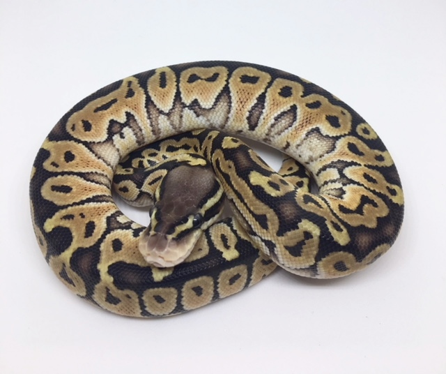 Pastel Special Het. Monsoon Female
