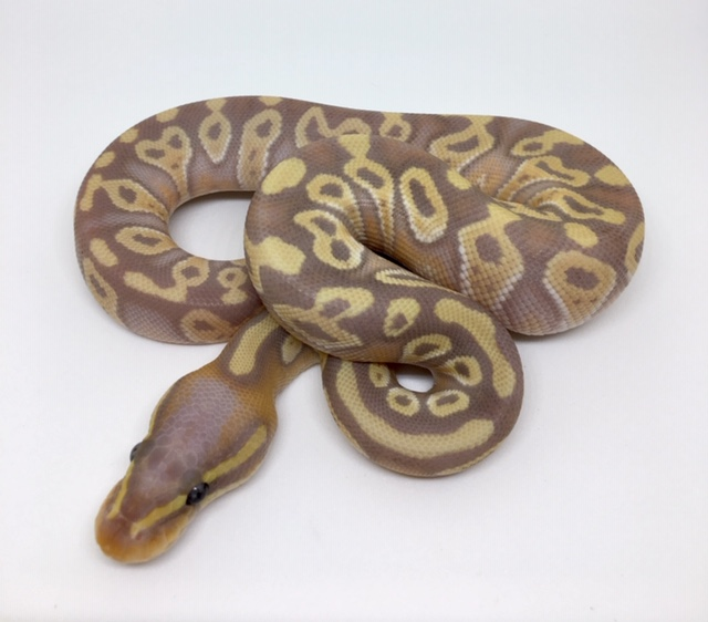 Banana Mojave Het. Monsoon Male