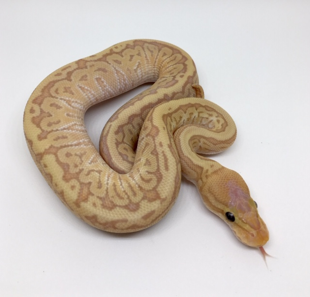 Banana Pinstripe Mojave Het. Monsoon Male