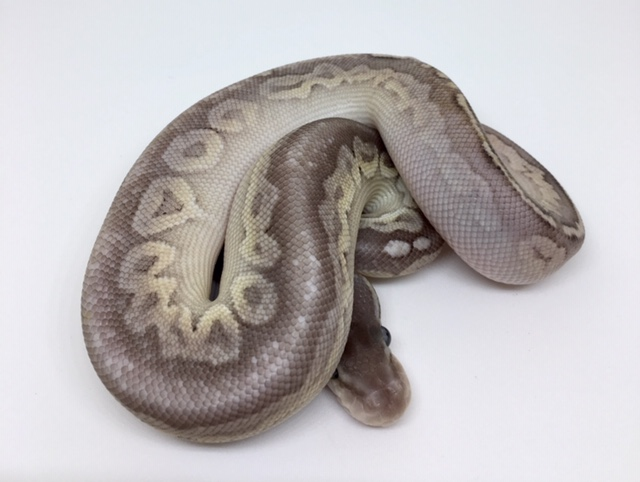 Pewter Het. Monsoon Male