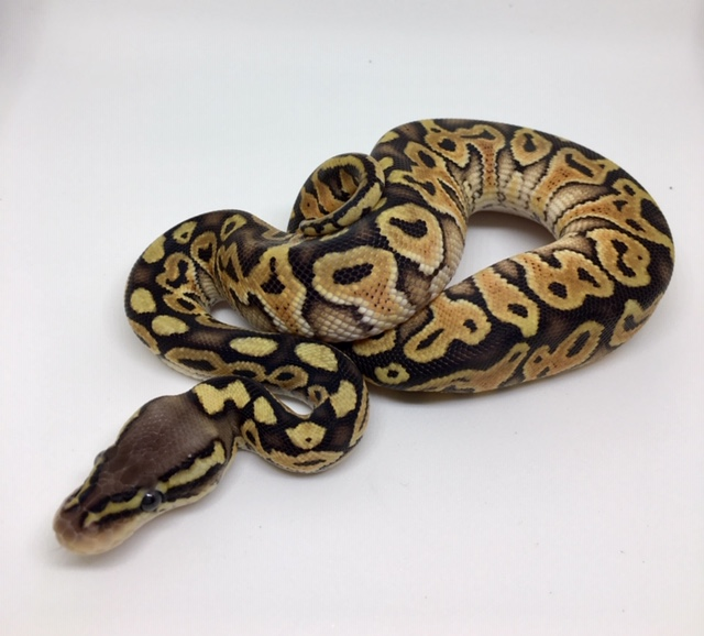 Pastel Special Het. Monsoon Male