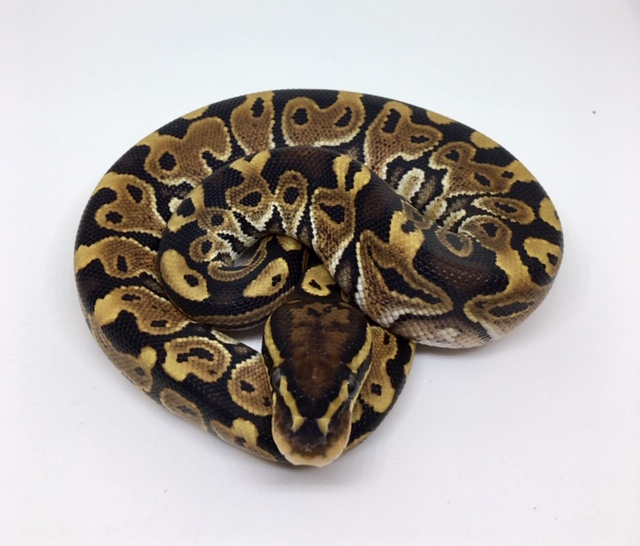 Special Het. Monsoon Male