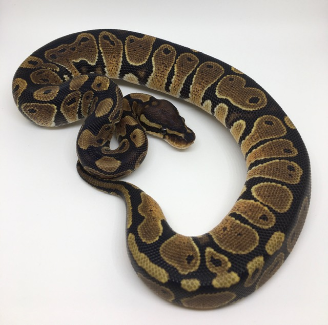 Double Het. Monsoon/Ghost Female