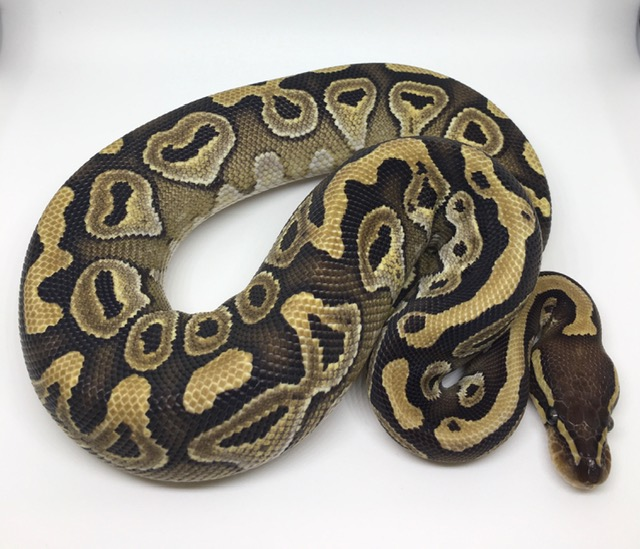 Mojave Double Het. Monsoon Ghost Female