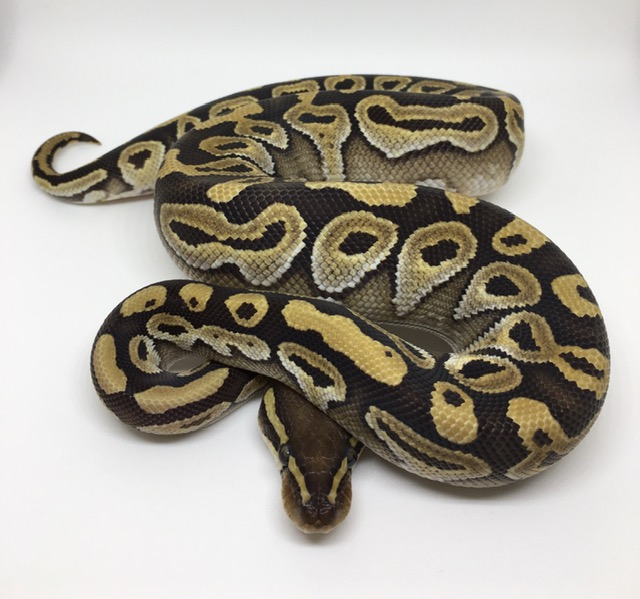 Mojave Double Het. Monsoon/Ghost Female