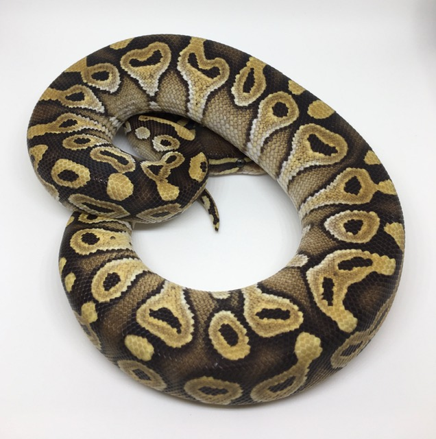 Mojave Double Het. Monsoon/Ghost Male