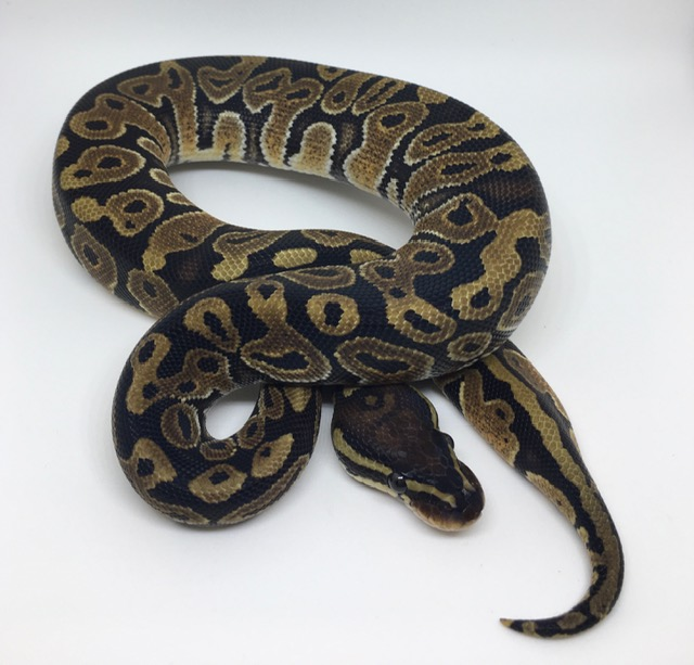 Double Het. Monsoon/Candy Female