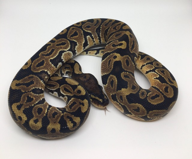 Double Het. Monsoon/Candy Male