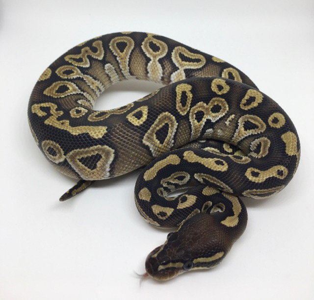 Mojave Double Het. Monsoon/Candy Female
