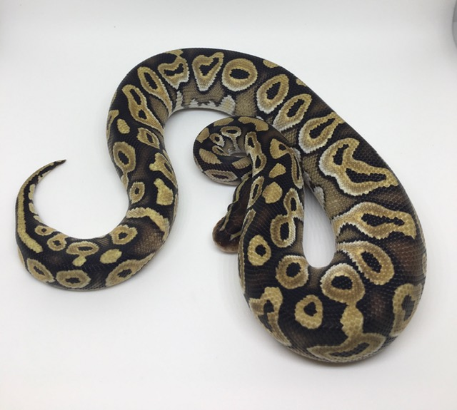 Mojave Double Het. Monsoon/Candy Male