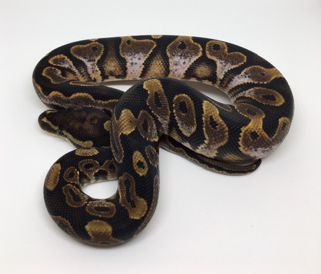 Calico Het. Monsoon Male