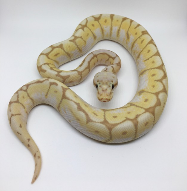 Banana Bumble Bee Het. Monsoon Male