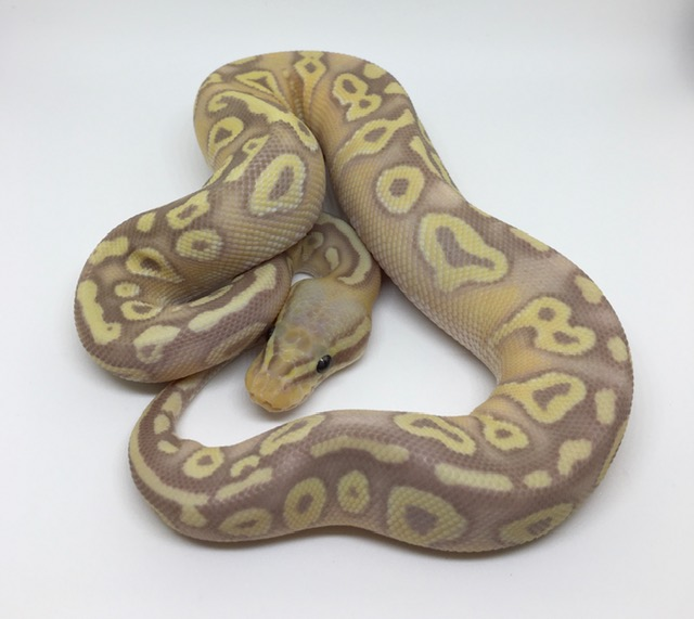Banana Pastave Het. Monsoon Female