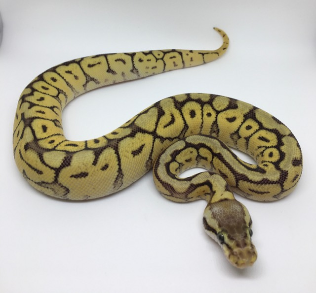 Mojave Bumble Bee Het. Monsoon Female