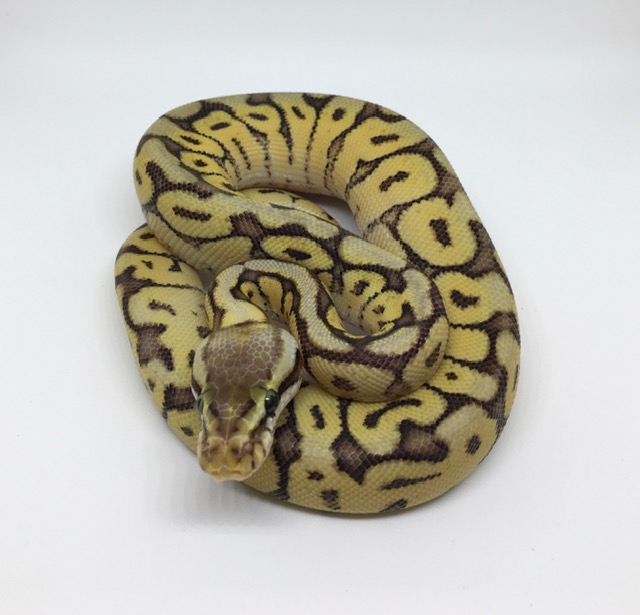Mojave Bumble Bee Het. Monsoon Male