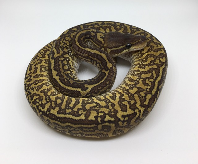 Mojave Monsoon Female
