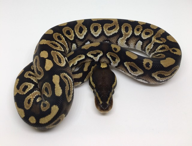 Phantom Het. Monsoon Male