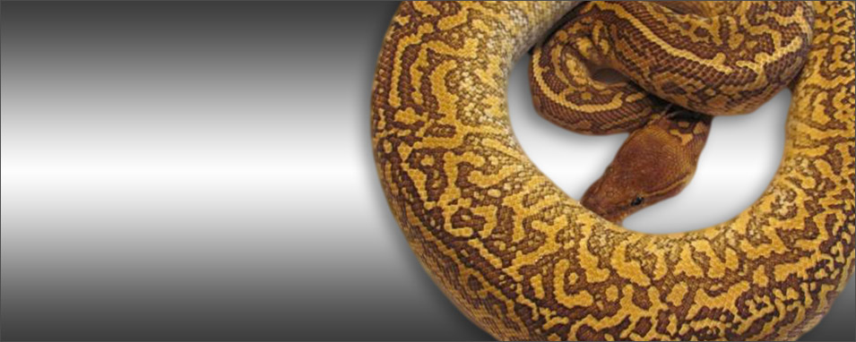 Monsoon Ball Python Morph - Dave Green Reptiles